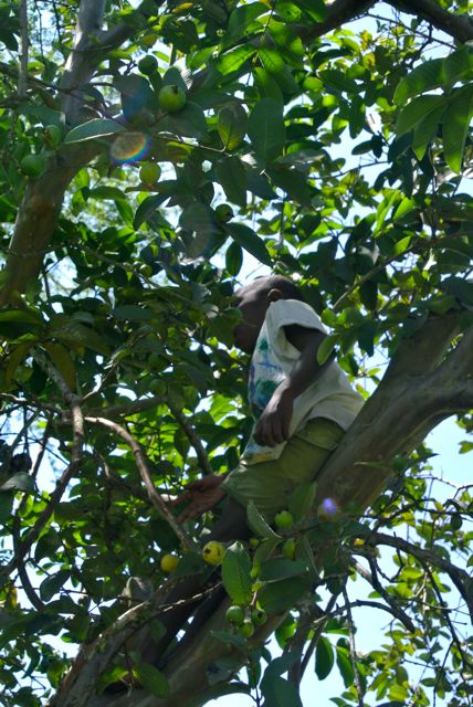 Ayubu up in a pear tree at the new shamba