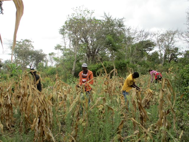 Students from the day school harvesting corn.