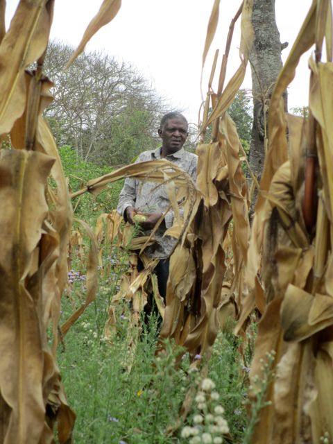 Even Mzee Chris, our operations manager, helped harvest the corn.